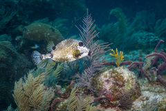 Smooth Trunkfish. At French Reef in the Florida Keys Barrier Reef royalty free stock images