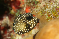 Smooth Trunkfish (Lactophrys triqueter) - Bonaire Royalty Free Stock Photography