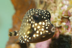 Smooth Trunkfish (Lactophrys triqueter) - Bonaire Stock Photography