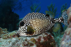 Smooth Trunkfish (Lactophrys triqueter) - Cozumel Royalty Free Stock Photo