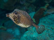 Smooth Trunkfish 02 Stock Image
