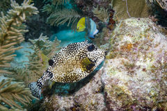 Smooth Trunkfish and Yellowhead Wrasse. At French Reef in the Florida Keys Barrier Reef Royalty Free Stock Photography