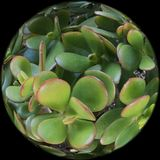 Crassula ovate is a globe full of jade plant, 2. Stock Images