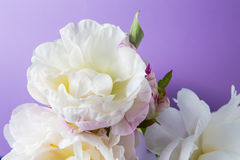 Smooth white peony flowers on a purple background Stock Image