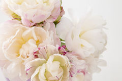 Smooth white peony flowers on a white background Stock Photos