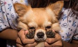 Smucenia chihuahua trzymał ręki jego właścicielem Zdjęcia Royalty Free