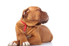 Free Smug And Arrogant Little Puppy With Head To Side Stock Photos - 108211243