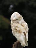 Smug Barn Owl stock photo