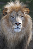 Smug lion Royalty Free Stock Images