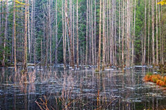 Pacific Coast Marshland and Beaver Home. Wetland and Beaver Home in Smuggler Cove Provincial Park in winter Royalty Free Stock Photography