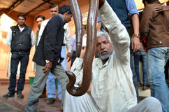 Smuggler with Sand Boa snake. A smuggler who try to sell Sand Boa snake catched by police in Bhopal. This is a rare snake. Double-headed snake is believed to Royalty Free Stock Images