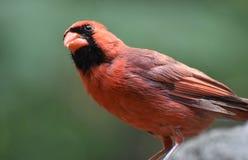 Smulor i näbb av en huvudsakliga Bird på en vagga Royaltyfri Fotografi