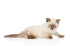 Smutna Brytyjski Shorthair figlarka pojedynczy białe tło Fotografia Stock