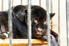 Smutna czarna pantera w zoo klatce Fotografia Stock