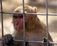 Smutna małpa Fotografia Royalty Free