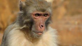 Smutna małpa Zdjęcie Royalty Free