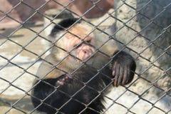 Smutna małpa za zoo ` s barami Obrazy Stock