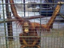 Smutna małpa lub małpa jesteśmy w klatce Zwierzęcy nadużycie, niedbałość i crue, Zdjęcia Stock