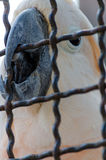 Smutna papuga w klatek spojrzeniach dla ucieczki Obraz Royalty Free