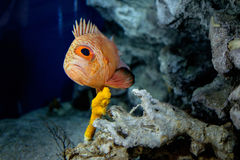 Smutna przyglądająca ryba zdjęcie royalty free