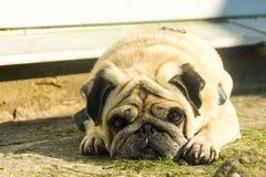 Smutni mopsa psa kłamstwa zdjęcia stock