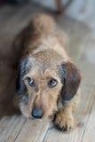 Smutni oczy na ślicznym psie Fotografia Stock