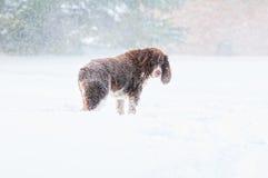 Smutny śnieżny pies Obraz Stock