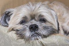 Smutny śpiący Lhasa Apso pies Zdjęcie Royalty Free