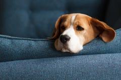 Smutny beagle pies na błękitnym tle Zdjęcia Stock
