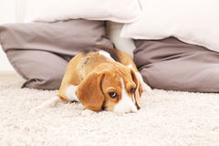 Smutny beagle szczeniak na miękkim dywanie Obrazy Royalty Free
