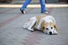 Smutny bezdomny przybłąkany pies z uszatą etykietką Obraz Royalty Free