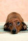 smutny borsuka pies Zdjęcie Stock