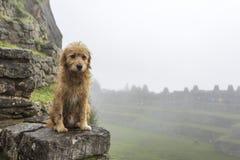 Smutny doggy w Mach Picchu Zdjęcia Royalty Free