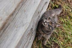Smutny domowy żeński kota obsiadanie na zavalinka bardzo stary bela dom w Rosyjskiej wiosce Fotografia Royalty Free