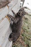 Smutny domowy żeński kota obsiadanie na zavalinka bardzo stary bela dom w Rosyjskiej wiosce Zdjęcia Royalty Free