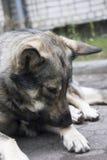 Smutny dziki domowy pies kłama na ziemi Zdjęcia Royalty Free