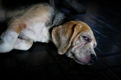 Smutny i stary beagle pies Obraz Royalty Free