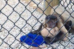 Smutny i wzburzony mały małpi obsiadanie w klatce, przytulenie miś pluszowy w błota parku narodowym fotografia royalty free