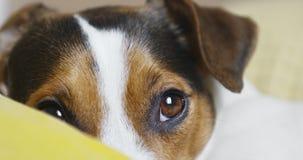 Smutny Jack Russell Terrier psi patrzejący kamerę zbiory