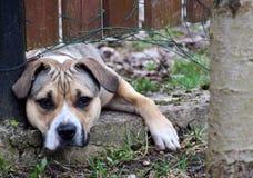 Smutny jasnobrązowy pies za ogrodzeniem zdjęcie royalty free
