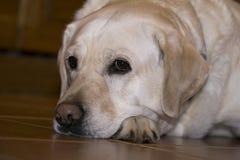 Smutny labrador w oczekiwaniu właściciel obrazy stock