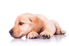 Smutny mały Labrador retriever szczeniaka pies z głową na łapach Obraz Stock