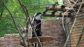 Smutny małpi Kolobus Fotografia Stock