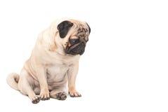 Smutny mopsa pies odizolowywał białego tło Zdjęcie Royalty Free