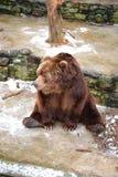 smutny niedźwiedź grizzly Zdjęcia Stock