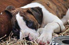 Smutny osamotniony boksera szczeniaka pies kłaść na trawie marzy zawsze dom Zdjęcia Royalty Free