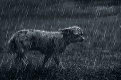 Smutny osamotniony pies w deszczu Obrazy Royalty Free