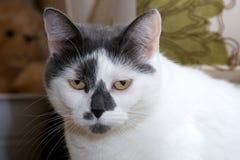 Smutny przyglądający czarny i biały kot Obrazy Royalty Free
