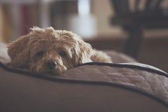 Smutny przyglądający pies na swój łóżku obrazy stock