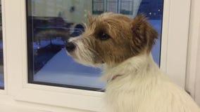 Smutny psi patrzeć wieczór czekania nadokienny właściciel w domu Domowy zwierzę domowe i zwierzę zbiory